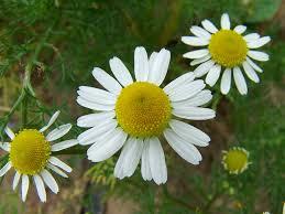 Camomilla matricaria fiori