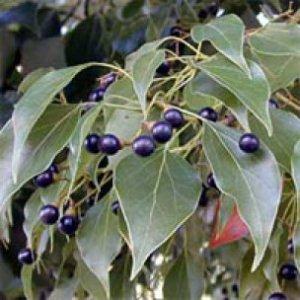 Flora Olio essenziale Ravintsara bio