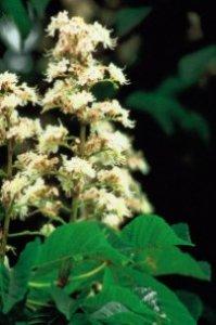 White Chestnut fiore di bach