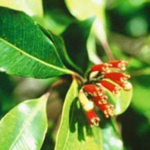 Chiodi di Garofano olio essenziale Naturetica