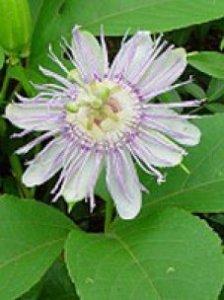 Herboplanet Passiflora Incarnata TSA
