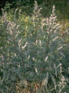 Herboplanet Artemisia absinthium TSA