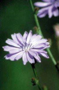 Chicory - amore egoista e possessivo