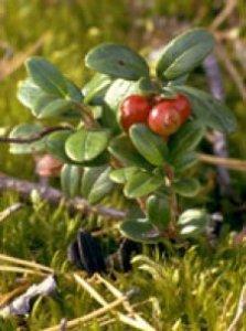 Herboplanet Vaccinium Vitis idaea