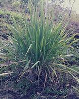 Olio essenziale lemongrass bio