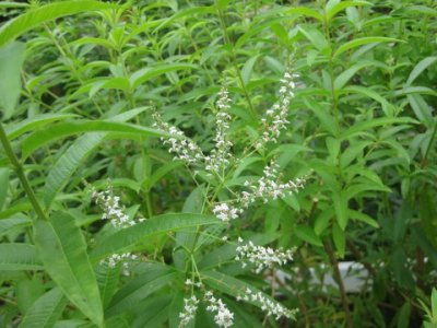 Olio essenziale di Verbena Dacor