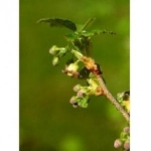 Ribes Nigrum MSA della Herboplanet 100ml