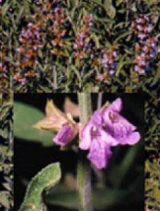Herboplanet salvia Officinalis