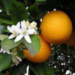 Pranarom Olio Essenziale Mandarino Buccia BIO