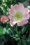 Wild Rose - indifferenza, rassegnazione, apatia