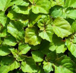 Naturetica Olio essenziale di Patchouli