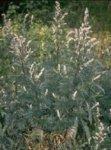 Herboplanet Artemisia Vulgaris