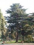 Herboplanet Cedrus Libani