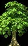 Herboplanet Acer Campestre