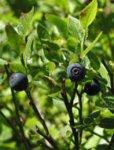 Herboplanet Vaccinium Myrtillus