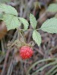 Herboplanet Rubus Idaeus