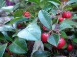 Olio essenziale di Gaultheria BIO 10ml Florame